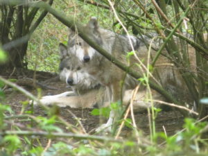 Mexican gray wolf pair
