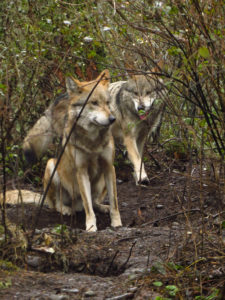 Mexican wolf brothers M1066 (left) and M1135 (right)