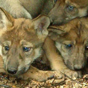 Mexican wolf pups