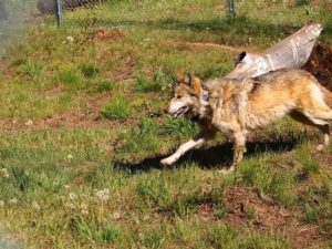 One of the two collared wolves intended for release into the wild.