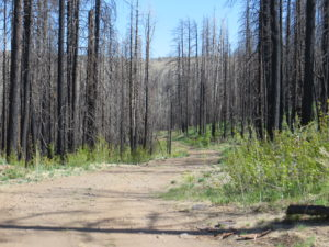Charred aspens can be seen amidst the new aspen growth in meadow.