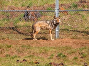One of two Mexican wolves in pen.