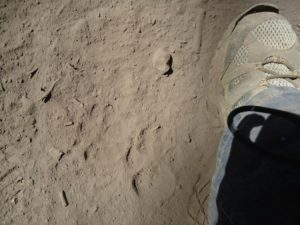 Print left by one of penned Mexican gray wolves.