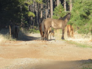 About 100 horses that wandered from the Fort Apache Indian Reservation live in the area.