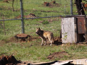 Mexican wolf enclosure