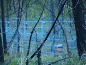 Enclosure where fence fighting between captive and free-ranging Mexican gray wolves took place.