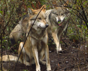 These Mexican gray wolf brothers currently reside at Wolf Haven International and are pre-release candidates.