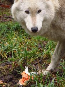 Spruce enjoys a fine salmon filet.