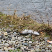 Salmon on riverbank