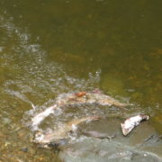Chinook salmon carcasses are a food source for several animals, including other salmon.