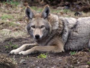 Carosal the coyote