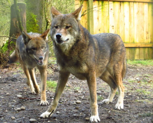 Red wolves Ruby and Tala
