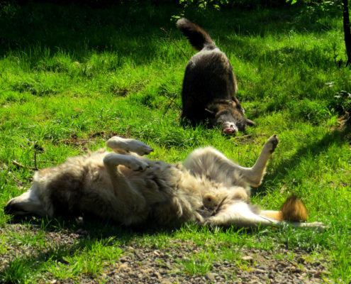 Rocco and Sitka roll in bear poop donated by Woodland Park Zoo