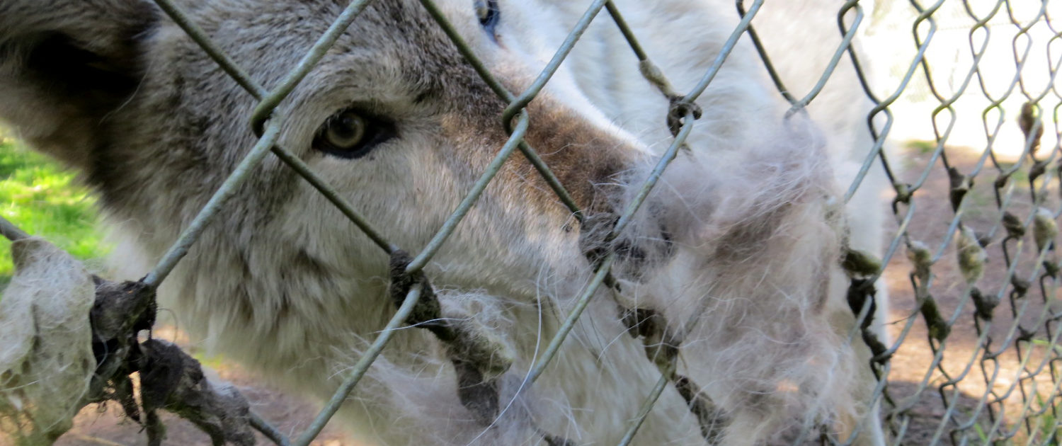 Klondike delights in the scent of generations of wolves who have left calling cards of fur on the fence