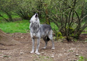 Ladyhawk howls