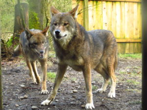 Ruby and Tala, red wolves