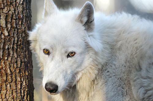 Sanctuary Wolf Haven International