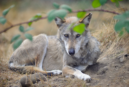 Noel is one of the 19 Mexican gray wolves currently residing at Wolf Haven.