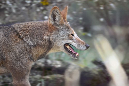 Jacob (male) & Tamaska (female) share an enclosure; Tala (male) lives with a newly arrived red wolf (Nash - no pictures available yet).