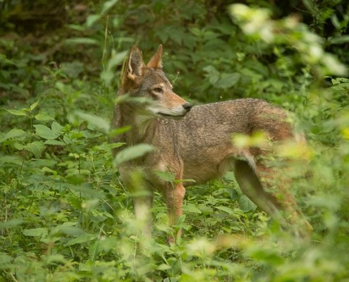 One of the critically endangered red wolves housed at the Endangered Wolf Center