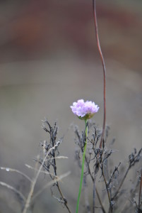 This single Sea Thrift (Armeria maritima) is an early bloomer, usually around March and April.
