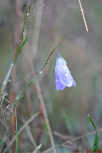 An early summer flower, there are a few Harebells (Campanula rotundifolia) out on one mound.