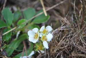 Strawberries (Fragaria virginiana) bloom throughout spring, but they are out all over right now.
