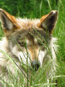 Gypsy, female Mexican wolf