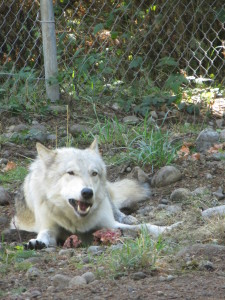 Lakota, a male wolf, takes a leisurely approach to dining.
