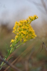 Goldenrod (Solidago sp.) is a great late season nectar source for insects, but October is late for it as well.