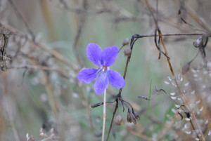 Despite its name, the Early Blue Violet (Viola adunca) blooms after a rain, but October is a bit late for it.