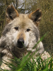 Diablo, male Mexican wolf