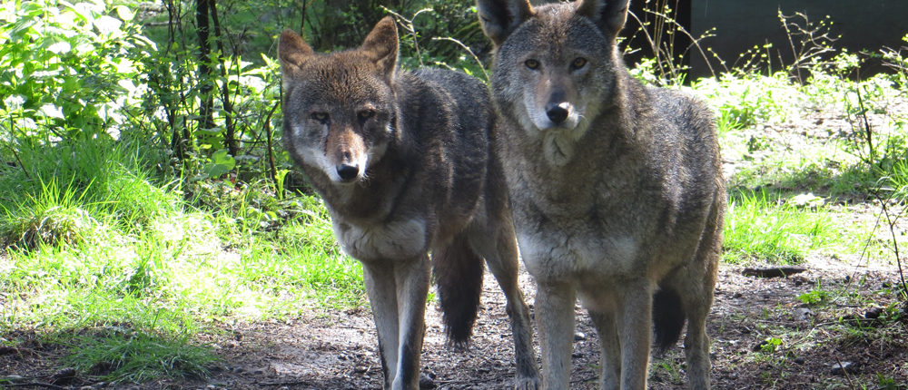 Red wolves Tamaska & Jacob