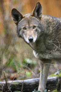 Tamaska, female red wolf