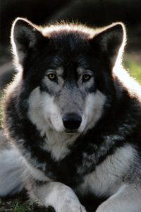 Sequra's first Wolf Haven adoption photo - 2005