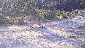 Profanity Peak wolf courtesy of WDFW