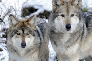 Mexican wolves Gypsy & Diablo reside at Wolf Haven. Photo by Julie Lawrence/Wolf Haven.
