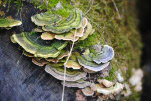 Turkey Tail fungi on logs