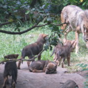 Red wolf pups with mom