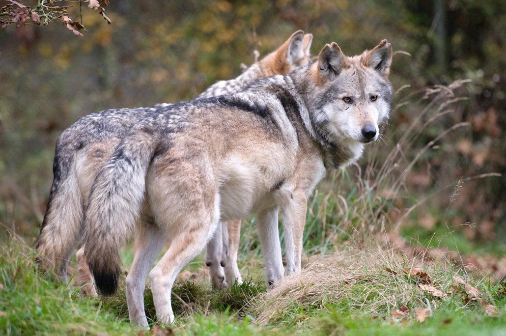 Wolf haven волчье убежище игровой автомат собак онлайн бой