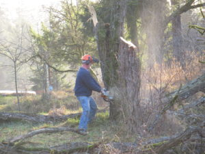 Cutting down the Black Locust
