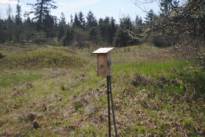 Tree Swallow in bird box