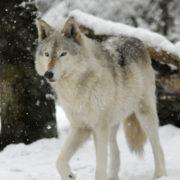 Juno in the snow