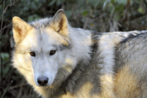 Layla - Wolf Haven's newest resident