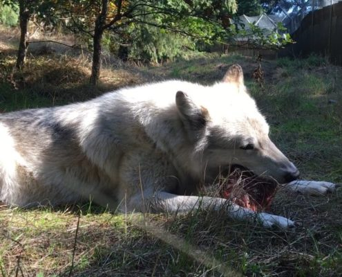 Lakota enjoying his frozen loaf, made from the donated meat