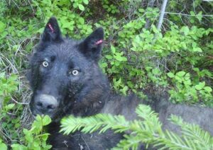 Tagged wild wolf / photo credit: WDFW