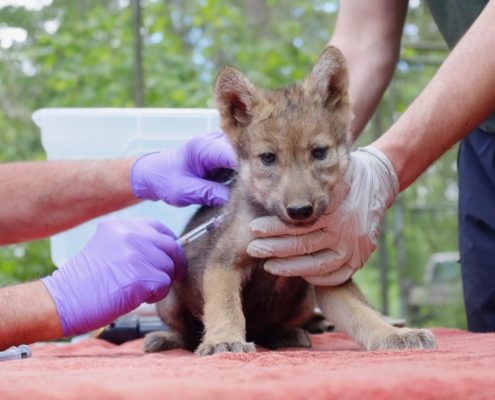 Nine pups receive their first health check.